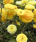 Yellow Flower (Ranunculus/Buttercup)