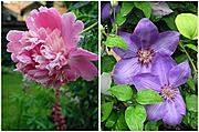 Peony and Clematis Flowers