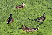 Ducks in the Calhoun Wetlands Ponds