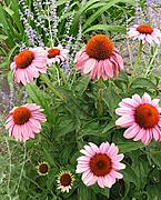 Echinacea Flowers by Lake Harriet