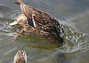 Duck Diving for Food