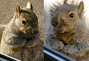 Close-Up of Brownie the Squirrel