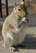 Squirrel Standing Upright and Eating
