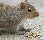 Squirrel with Sunflower Seeds