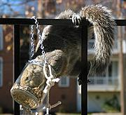 Squirrel Pushing Face into Feeder