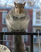 Squirrel Standing on Railing
