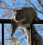 Squirrel Reaching for Food Jar