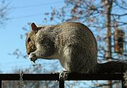 Squirrel Eating on Railing