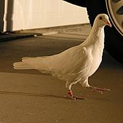 White Dove Strutting