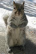 Standing Squirrel