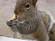 Squirrel Eating Brazil Nut