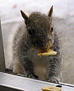 Squirrel with a Banana Chip