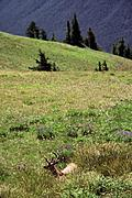 Buck in meadow in Olympic National Park