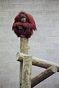 Orangutan on a stick