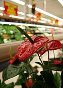 Grocery Store Flower (Anthurium)
