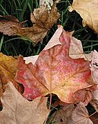 Maple Leaf on Green Grass in Fall