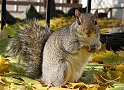 Squirrel in Autumn Leafs