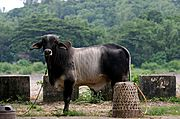 Philippine Bull (Male Cow)