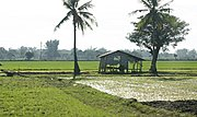 Filipino Rice Farm and Banana Trees