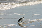 Sandpiper with Beak in the Surf