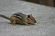 Chipmunk Sniffing Food