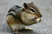 Close-up of a Chipmunk Eating a Peanut