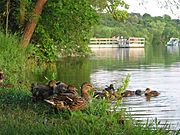 Family of Ducks on the Shore of Lake Harriet