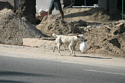 Dog Carrying a White Plastic Bag on the Street Near a Construction Site