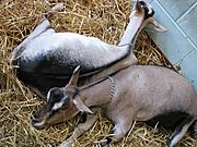 Goats Sleeping on Straw, State Fair