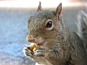 City Squirrel Eating a Walnut