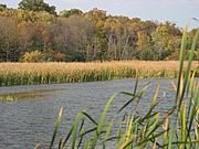 Reeds Along Lakeshore in Fall