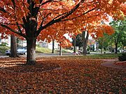 Maple Tree, Residential Neighborhood, in Fall