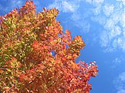 Changing Fall Leafs and Blue Sky with White Clouds