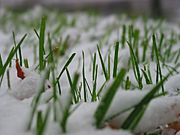 Snowfall in Green Grass