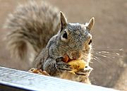 Greedy Squirrel Stealing Food