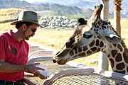 Giraffe and Handler, The Living Desert Zoo