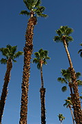 Palm Trees Rising Upwards Against a Blue Sky