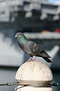 Pidgeon On A Navy Pier