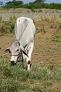 Cow Grazing near the Badoc River, Ilocos Norte