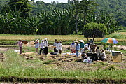 Farm Laborers in Badoc, Ilocos Norte, Harvesting Rice Manually
