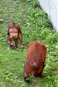 Orangutans at the Como Park Zoo
