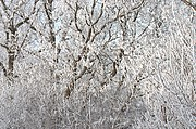 Frost-Covered Tree Branches