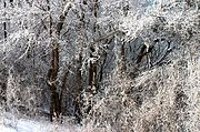 Trees Covered with Winter Frost