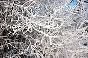 Close up of Frost-Covered Branches