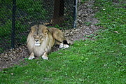Lion at the Como Park Zoo