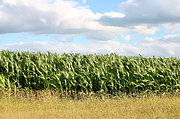 Cornfield in Summer