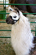 Alpaca, St. Croix County Fair