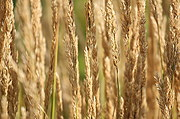 Close-Up of Wheat-like Plant