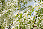 White Crab Apple Tree Flowers