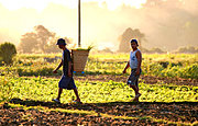 Men Working a Farm in Badoc, Ilocos Norte